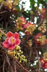 Fleurs de l arbre sala (couroupita guianensis)