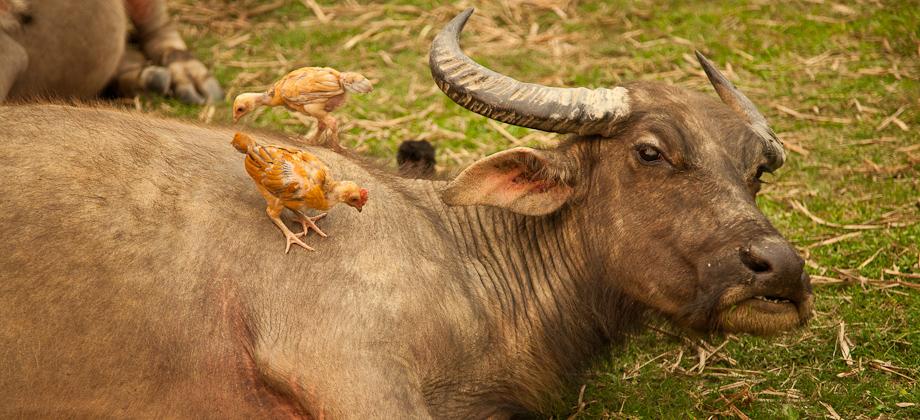 Poules et buffle