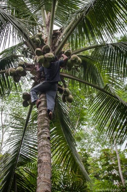 Cueillette de noix de coco