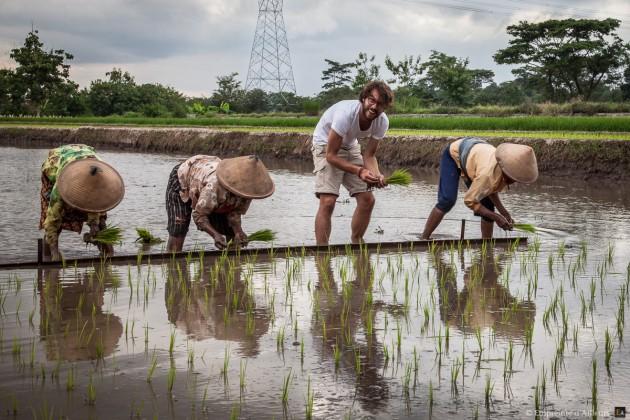 Travail ? dans la rizière